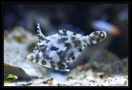 Acreichthys tomentosus Viilakala