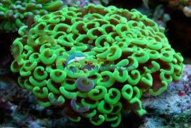 Euphyllia ancora green