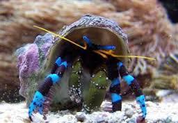 Calcinus elegans Erakkorapu sinijalkainen