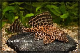 Isopurjepleko Pterygoplichthys gibbiceps