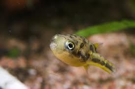 Kääpiöpallokala tetraodon travancoricus