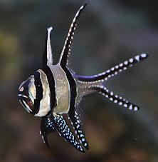 Pterapogon kauderni Helmikardinaaliahven