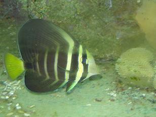 Seepravälskäri Zebrasoma desjardinii