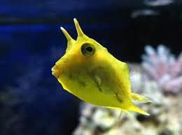 Lactoria cornuta, sarvilosserokala