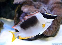 Kettukala Siganus magnificus