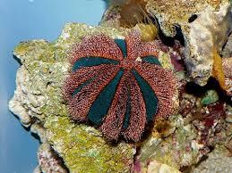 Mespilia globulus punainen