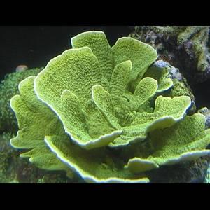 Montipora laminar green