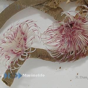 Sabellastarte red/white viuhkamato