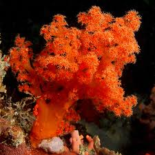 Scleronephthya sp flower tree coral