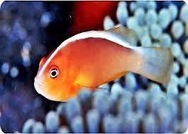 Amphiprion akallopisos skunkclownfish