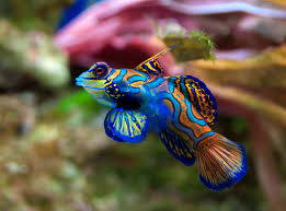 Pterosynchiropus splendidus Mandariinikala