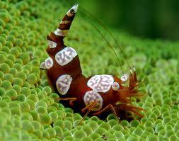 Sexy Shrimp Thor amboinensis