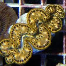 Tridacna maxima yellow gold
